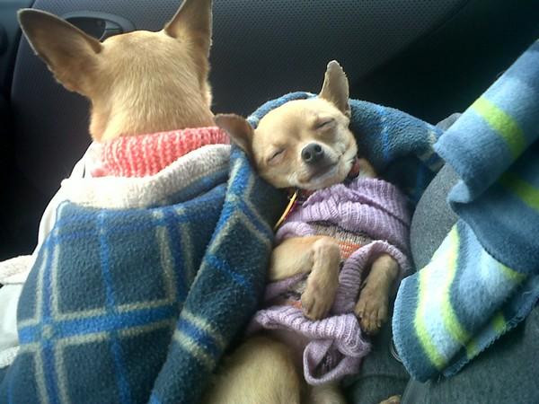 Фотогалерея щенки чехуахуа фото - 2