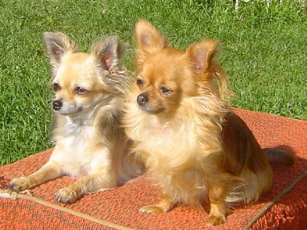 Фотогалерея щенки чихуахуа фото - 8