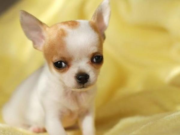 Фотогалерея щенки чихуахуа фото - 9
