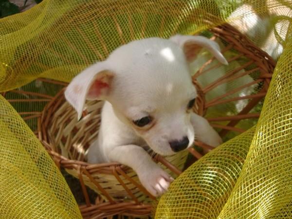 Фотогалерея щенки чихуахуа фото - 10