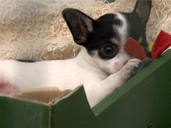 Фотогалерея щенки чихуахуа фото - 11