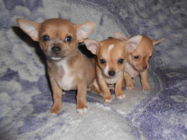 Фотогалерея щенки чихуахуа фото - 12