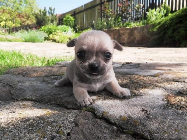 Фотогалерея щенки чихуахуа фото - 1