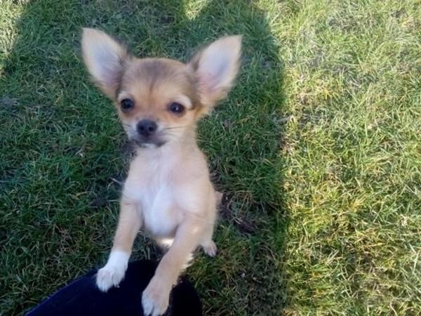 Фотогалерея щенки чихуахуа фото - 5