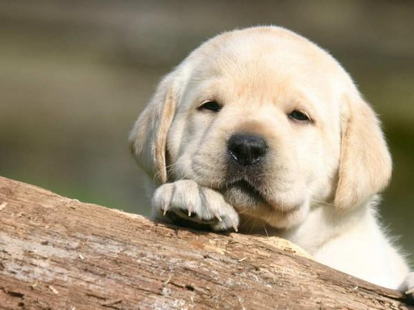 Фотогалерея щенки лабрадора фото - 10