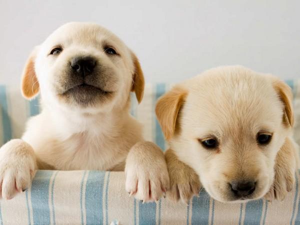 Фотогалерея щенки лабрадора фото - 1