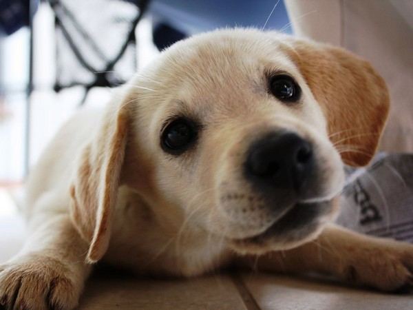 Фотогалерея щенки лабрадора фото - 2
