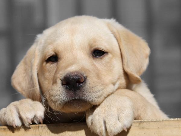 Фотогалерея щенки лабрадора фото - 5