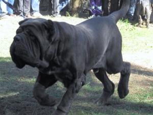 Разновидности собак породы мастиф