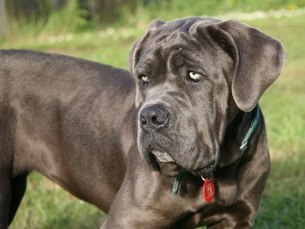 Фотогалерея Разновидности собак породы мастиф фото - 7
