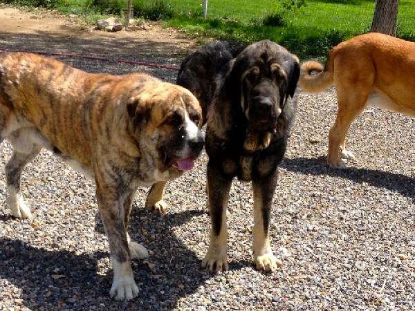 Фотогалерея Разновидности собак породы мастиф фото - 1