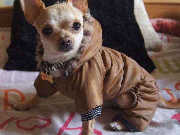 Фотогалерея одежда для чихуахуа фото - 7
