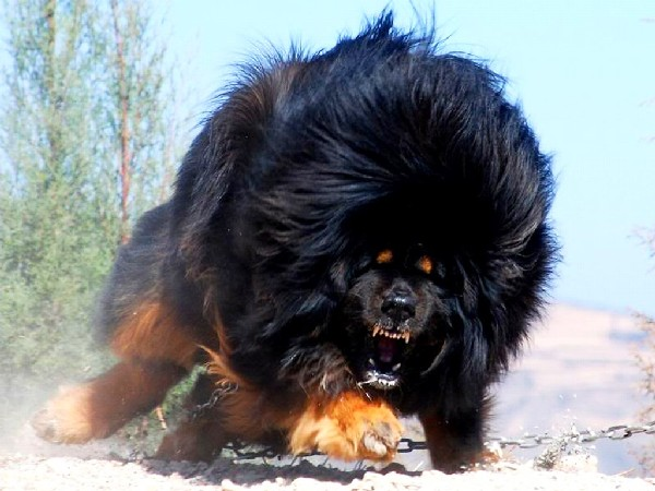 Тибетский мастиф описание породы характер