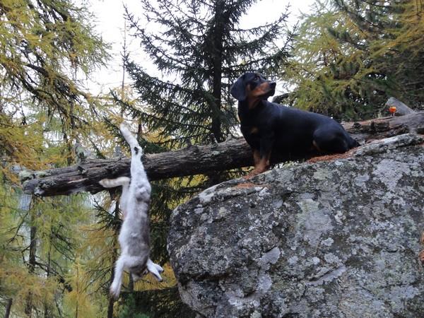 Фотогалерея альпийская таксообразная гончая фото - 1
