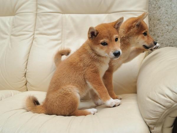 Фотогалерея щенки шиба ину фото - 1