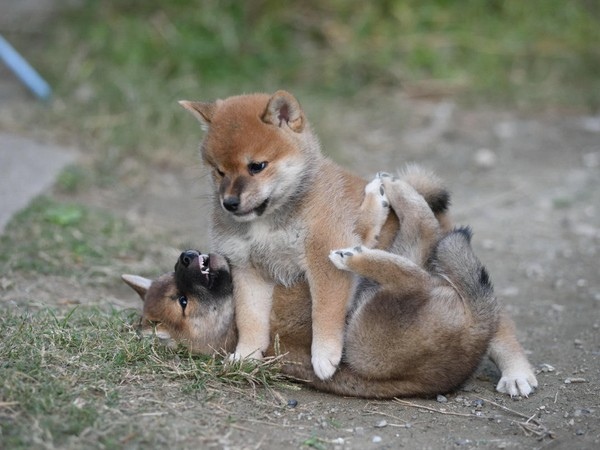 Фотогалерея щенки шиба ину фото - 2