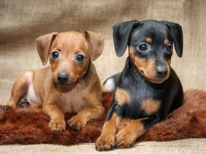 Как заботиться о щенках цвергпинчера