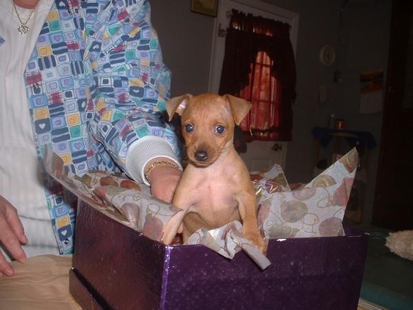 Фотогалерея щенки цвергпинчера фото - 6
