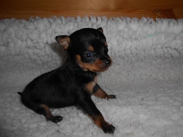 Фотогалерея щенки цвергпинчера фото - 12