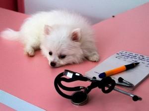 Болезни собак породы шпиц