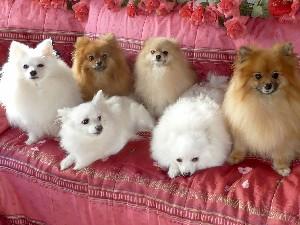 Все о собаках породы немецкий шпиц