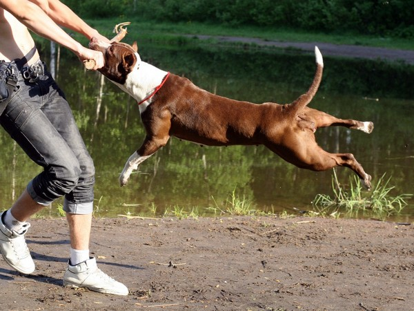 Фотогалерея питбуль собака убийца фото - 7