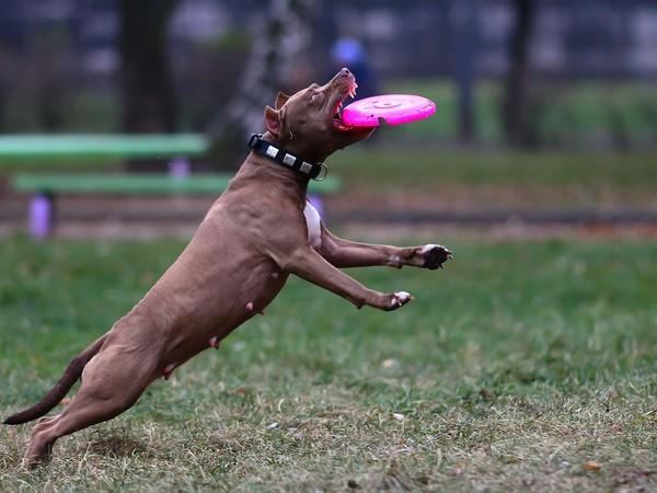 Фотогалерея питбуль собака убийца фото - 3