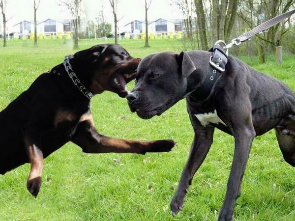 Фотогалерея питбуль собака убийца фото - 4