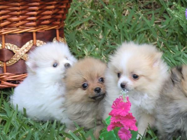 Фотогалерея щенки шпица фото - 9