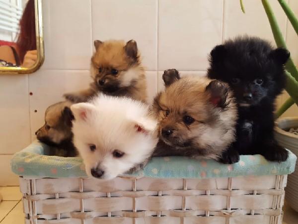 Фотогалерея щенки шпица фото - 10