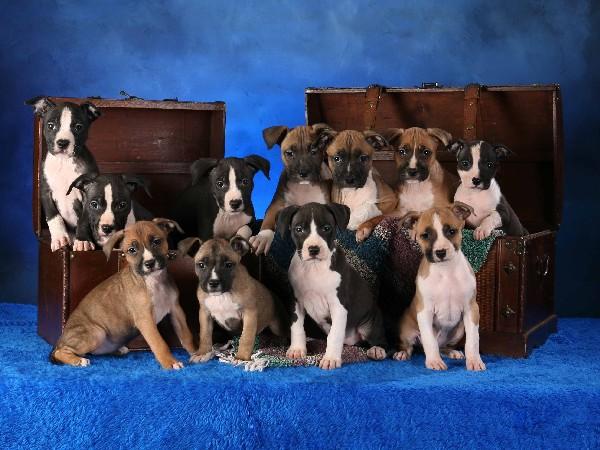 Фотогалерея все о щенках стаффордширского терьера фото - 5