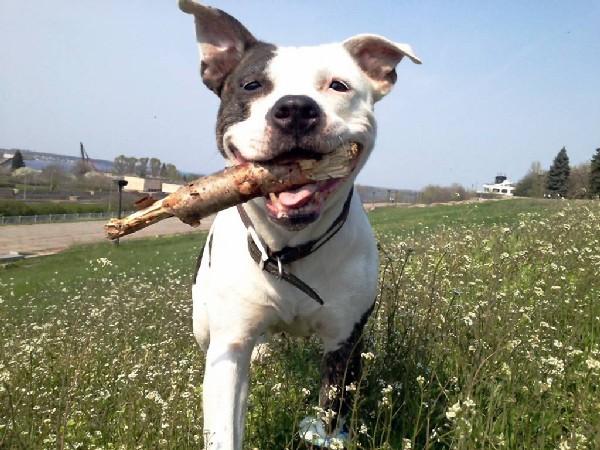 Фотогалерея все о щенках стаффордширского терьера фото - 10