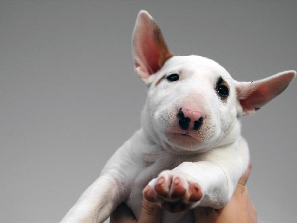 Фотогалерея щенки бультерьера фото - 3
