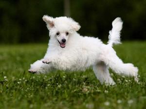 Порода собак — карликовый пудель