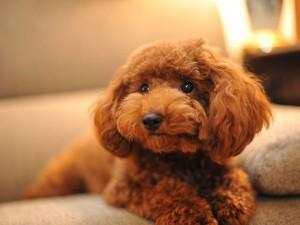 Той пудель — миловидная собачка
